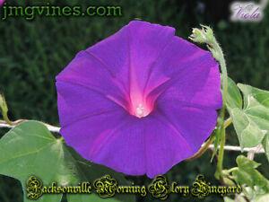 Viola Japanese Morning Glory 6 Seeds