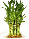 Lucky Bamboo 3 Tier Total +/- 38 Stalks Comes Built with 4
