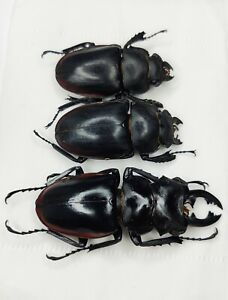 Lucanidae, Odontolabis sp, A2 set of 3, Hai'nan, China