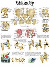 Cartel médico A3-la pelvis humana & Hip (libro de texto médico de imágenes de anatomía)