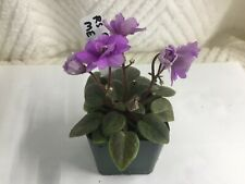 Rs Forget Me Not African Violet Starter Plant - See Winter Shipping