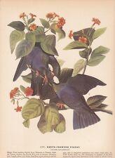 """1942 Vintage AUDUBON BIRDS #177 """"WHITE CROWNED PIGEONS"""" Color Art Plate Litho"""