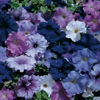 Petunia Seeds Aladdin Nautical Mix Petunia 50 Pelleted Seeds