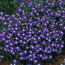 200 MRS CLIBRAN LOBELIA Erinus Flower Seeds *Comb S/H