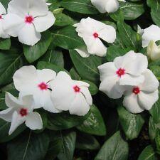 VINCA Dwarf Little Bright Eyes Periwinkle Seeds (F 393)