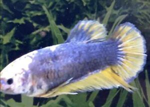 Female GIANT Blue Yellow Hmpk Betta
