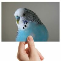 "Photograph 6x4"" - Blue Budgie Bird Birds Art 15x10cm #14623"