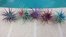 Bromeliad Tillandsia ionantha Wedding Favor Pack 50 count colored Air Plant