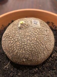 Stephania Erecta 10cm (bulb,caudex Only) No Leaves