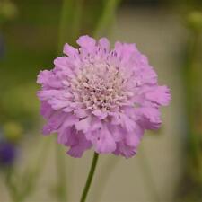 SCABIOSA incisa 'Kudo' (Scabious) - Hardy Perennial Plant - ex 1 Litre Pot