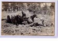 Real Photo Postcard RPPC - Coyote Caught in Trap - Animal