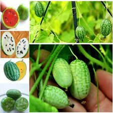 4 Colors Cucamelon Mini Watermelon Seeds Miniature Fruit Home Garden Plant 40PCs