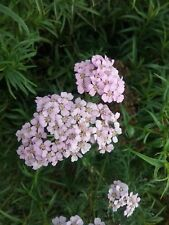 Achillea Christines Pink in 50mm forestry tube perennial plant