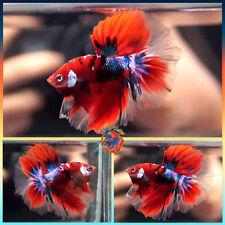 New listing Live Betta Fish Male Fancy Metallic Blue Galaxy Red Tiger Koi Halfmoon #E666