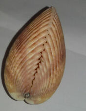 Conchiglia Shell TRACHYCARDIUM ELONGATUM mm 78,5 Oceano Indiano Poco Comune