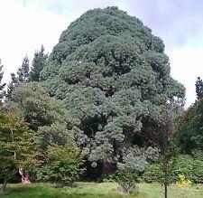 Pinus montezumae MONTEZUMA PINE Seeds!