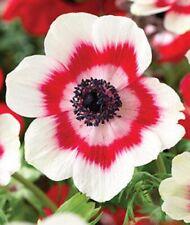 12 x BICOLOUR Poppy ANEMONE De Caen Tubers Bulbs