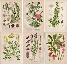 SIX 1904 Antique Prints: MYRTLE MILKWORT DAPHNE FLOWERS Botanical Plant Decor