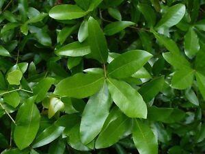 Laurel Oak Acorns   Quercus laurifolia   10 Seeds   (Free US Shipping)