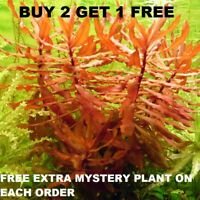 Nesaea Crassicaulis Red Aquatic Live Aquarium Plants planted tank BUY2GET1FREE