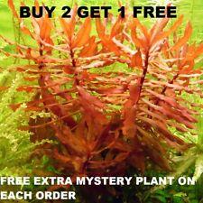 Nesaea Crassicaulis Red Aquatic Live Aquarium Plants planted tank BUY2GET1FREE