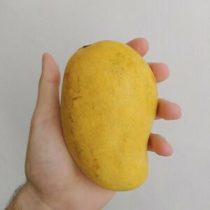"Mango Pineapple (Mangifera) Live Tropical Fruit Tree 12"""