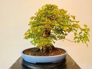Acer Buergerianum 'Trident Maple' Bonsai Tree