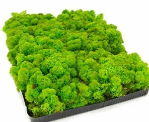 Reindeer Moss, Spring Green, Preserved Product - Approximately 0.5 square metres