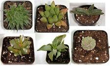 Starter Succulent Plant Collection #1 - easy-care miniature succulents