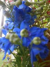 Stauden Rittersporn Delphinium blau  Winterhart Samen