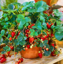 Red 100pcs Strawberry Climbing Strawberry Fruit Plant Seeds Home Garden New.