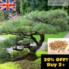 Japanese Black Pine Tree 4g 200x Seeds (Pinus Thunbergii) Bonsai Subject UK