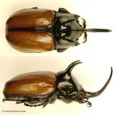 Eupatorus sukkiti - male, beautiful, China, +65mm