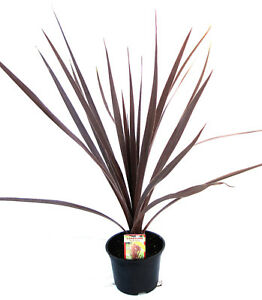 2 Cordyline australis Red Star Palms 25-30cm Potted Patio Shrub