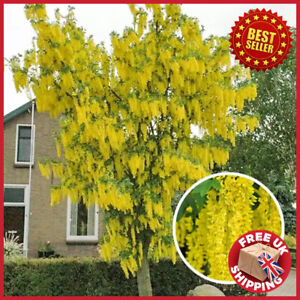 Giant Laburnum Laburnocytisus anagyroides Fastigiata Fast Grow Tree 100-120cm