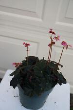 New listing Begonia Dark Red Leaves Pink flower