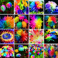 100 PCS Seeds Rainbow Chrysanthemum Flowers Bonsai Rare Color Plants 2019 New N
