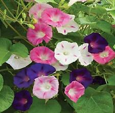 "Morning Glory Mix ""Ipomea Purpurea"" 50 Seeds"