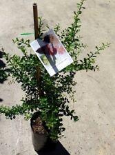 Citrus Native Finger Lime Grafted  5 litre bags  apx 80cm hgt    $58- ea