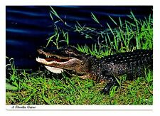 Florida Gator Everglades Postcard Alligator Grass Next To Water Unposted