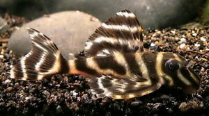 Premium Clown Pleco L103 REGULAR live freshwater aquarium fish