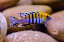 Wet Pets Solihull have stunning F1 Malawi Juvies for sale some rarer ones.