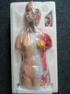 Torso Anatomie Modell Menschlicher Körper  45 cm PVC