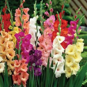 Fresh Stock- 20 (Large-Flowering) 10/12 cm Gladiolus Bulbs-MIXED Colors Fast Shp