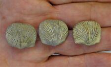 Brachiopods - Devonian Period - Three Orthostrophia stromphomenoides - 3Os2