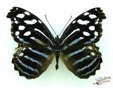 Blue Wave butterfly Myscelia cyaniris SETx1 FM Costa Rica taxidermy pinned bug