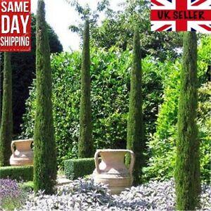 Italian Cypress (Cupressus Sempervirens Horizontalis) 50 seeds Same Day Dispatch