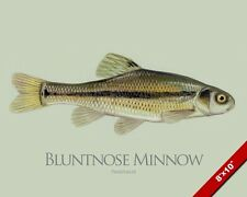 BLUNTNOSE MINNOW FISH PAINTING FRESHWATER AMERICAN FISHING ART REAL CANVAS PRINT