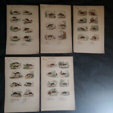 5 Engravings: Raccoon, Taupe, Muscardin, Large Field Mouse, Rat, Pew, Ferret