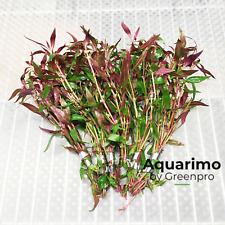 Alternanthera Rosaefolia 6 Bundles Tropical Freshwater Aquarium Plant Decoration